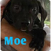 Labrador Retriever/Pit Bull Terrier Mix Puppy for adoption in Holmes Beach, Florida - Moe