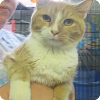 Domestic Shorthair Cat for adoption in Reeds Spring, Missouri - Baby Boo