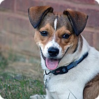 Jack Russell Terrier/Australian Cattle Dog Mix Puppy for adoption in Allentown, Virginia - Rowdy