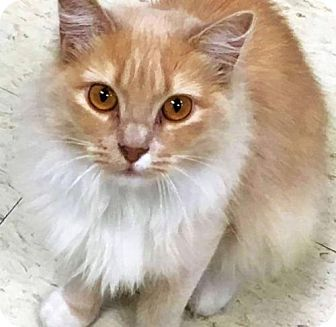 Domestic Mediumhair Cat for adoption in Alexandria, Virginia - Darla