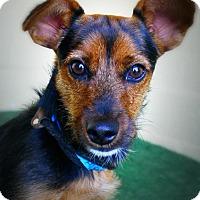 Dachshund Mix Dog for adoption in Casa Grande, Arizona - Rongo
