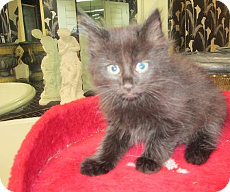 Domestic Longhair Kitten for adoption in Jeffersonville, Indiana - Deena