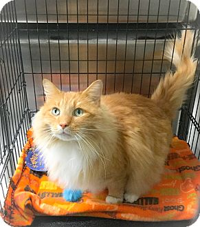 Domestic Mediumhair Cat for adoption in Webster, Massachusetts - Fluffy