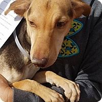 Adopt A Pet :: Honey - Las Vegas, NV