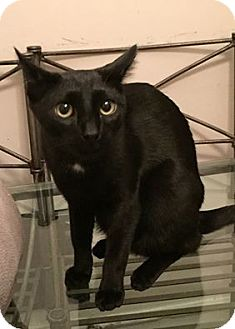 Domestic Shorthair Cat for adoption in New York, New York - Chase