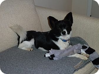 Papillon Mix Dog for adoption in Bellingham, Washington - Toby