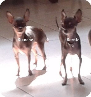 Chihuahua Mix Dog for adoption in San Diego, California - Bernie