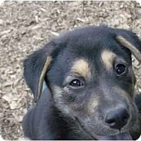 Adopt A Pet :: Lab Mix Pups - Alliance, OH