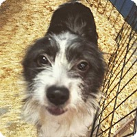 Adopt A Pet :: EDITH terrier - Pompton lakes, NJ