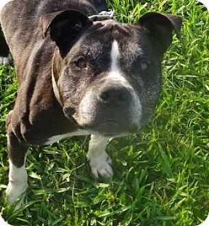 Boxer Mix Dog for adoption in Jupiter, Florida - Rosie
