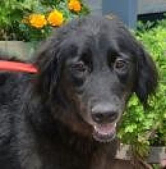 Flat-Coated Retriever Mix Dog for adoption in Jackson, Mississippi - Camerson