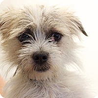 Adopt A Pet :: Gizmo - Studio City, CA
