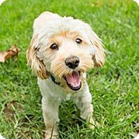Adopt A Pet :: Iggy - Malibu, CA