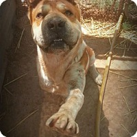 Adopt A Pet :: Oso - Alamogordo, NM