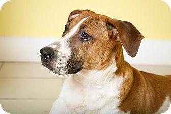 Hound (Unknown Type) Mix Dog for adoption in Philadelphia, Pennsylvania - Bryce
