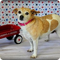 Jack Russell Terrier/Chihuahua Mix Dog for adoption in Bardstown, Kentucky - Una