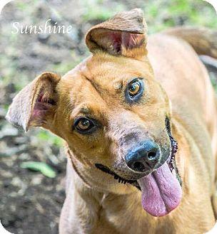 Cattle Dog/Labrador Retriever Mix Dog for adoption in Austin, Texas - Sunshine