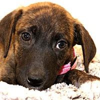 Adopt A Pet :: Rain - Glastonbury, CT