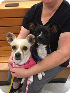 Chihuahua Mix Dog for adoption in Tracy, California - Cherish-ADOPTED!