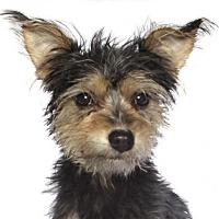 Adopt A Pet :: Tyson - Oakland Park, FL