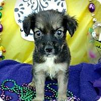 Adopt A Pet :: Bayou - Des Moines, IA