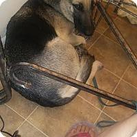 German Shepherd Dog Dog for adoption in Lithia, Florida - Sara-16