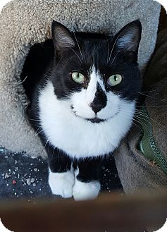 Domestic Shorthair Cat for adoption in Pulaski, Tennessee - Merrick