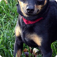 Miniature Pinscher/Chihuahua Mix Dog for adoption in Bridgeton, Missouri - Rocco