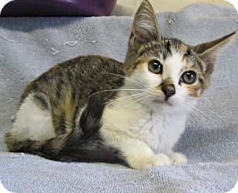 Domestic Shorthair Kitten for adoption in Seminole, Florida - Harlow
