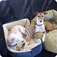 Adopt A Pet :: Milano - San Diego, CA