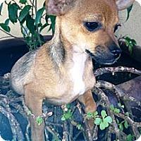 Adopt A Pet :: Chuck - Gilbert, AZ