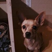 Chihuahua/Jack Russell Terrier Mix Dog for adoption in Gilbert, Arizona - Carmela