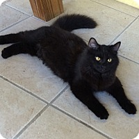 Adopt A Pet :: Black Rose - Bonita Springs, FL