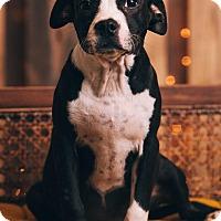 Adopt A Pet :: Vallie - Portland, OR
