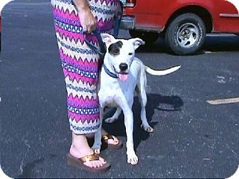 Great Dane/Bull Terrier Mix Dog for adoption in springtown, Texas - Patches