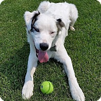 Adopt A Pet :: COSMO DEAF - pending adoption - Post Falls, ID