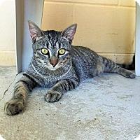 Adopt A Pet :: Lily (Tabby) - Umatilla, FL