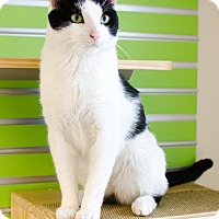 Adopt A Pet :: Domino - Peacedale, RI