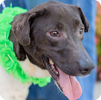 Greyhound/Pointer Mix Dog for adoption in Germantown, Maryland - Cupcake