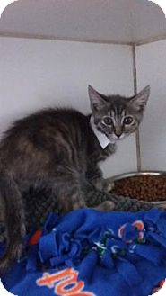 Domestic Shorthair Kitten for adoption in Bradenton, Florida - Henna