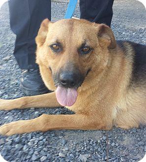 Shepherd (Unknown Type)/Labrador Retriever Mix Dog for adoption in Kirkland, Washington - Molly Brown