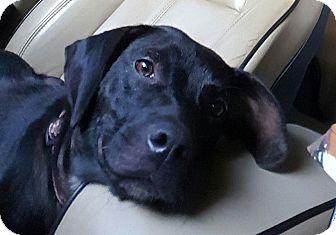 Labrador Retriever Mix Dog for adoption in Gainesville, Georgia - prissy