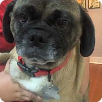 Adopt A Pet :: Lata Girl - Grapevine, TX
