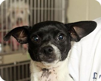 Rat Terrier Mix Dog for adoption in Waco, Texas - Pixie