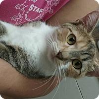 Domestic Shorthair Cat for adoption in Shinnston, West Virginia - Penelope