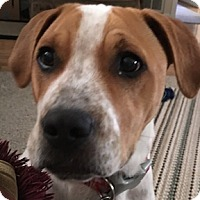 Labrador Retriever/Pointer Mix Dog for adoption in Shreveport, Louisiana - Rufus