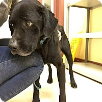 Labrador Retriever Dog for adoption in Towson, Maryland - Rocket