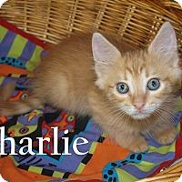 Domestic Longhair Kitten for adoption in Jackson, Mississippi - Charlie