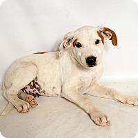 Adopt A Pet :: Harley Boxer Mix - St. Louis, MO