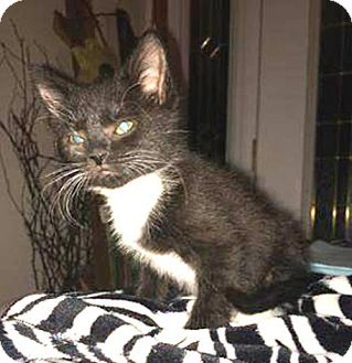 Domestic Shorthair Kitten for adoption in York, Pennsylvania - Chance